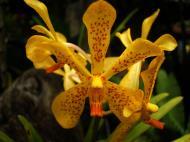 Asisbiz Orchids Soliman Paraiso gardens Tabinay Mindoro Oriental Philippine 118