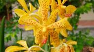 Asisbiz Orchids Soliman Paraiso gardens Tabinay Mindoro Oriental Philippine 119