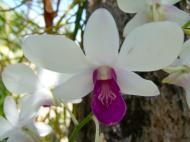 Asisbiz Orchids Soliman Paraiso gardens Tabinay Mindoro Oriental Philippine 123
