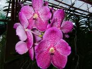 Asisbiz Philippine Orchids Cebu Moal Boal Orchid Farm 02