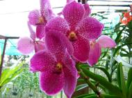 Asisbiz Philippine Orchids Cebu Moal Boal Orchid Farm 03