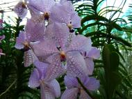 Asisbiz Philippine Orchids Cebu Moal Boal Orchid Farm 04