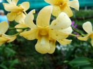 Asisbiz Philippine Orchids Cebu Moal Boal Orchid Farm 08