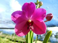 Asisbiz Philippine Orchids Cebu Moal Boal Orchid Farm 11