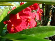 Asisbiz Philippine Orchids Cebu Moal Boal Orchid Farm 13