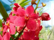 Asisbiz Philippine Orchids Cebu Moal Boal Orchid Farm 14