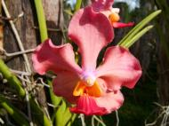 Asisbiz Philippine Orchids Cebu Moal Boal Orchid Farm 16