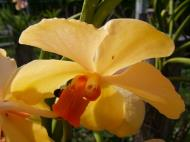 Asisbiz Philippine Orchids Cebu Moal Boal Orchid Farm 18