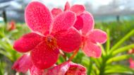 Asisbiz Philippine Orchids Cebu Moal Boal Orchid Farm 24