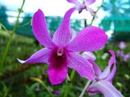 Asisbiz Philippine Orchids Cebu Moal Boal Orchid Farm 28