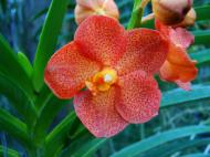 Asisbiz Philippine Orchids Cebu Moal Boal Orchid Farm 31