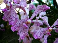 Asisbiz Philippine Orchids Cebu Moal Boal Orchid Farm 32