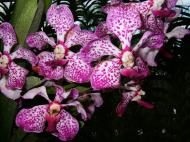 Asisbiz Philippine Orchids Cebu Moal Boal Orchid Farm 34
