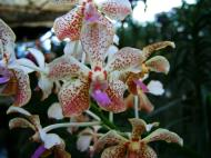 Asisbiz Philippine Orchids Cebu Moal Boal Orchid Farm 35