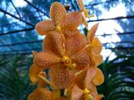 Asisbiz Philippine Orchids Cebu Moal Boal Orchid Farm 39