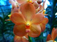 Asisbiz Philippine Orchids Cebu Moal Boal Orchid Farm 42