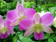 Asisbiz Singapore Orchids Botanical Garden 02