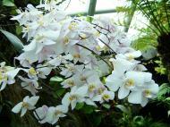 Asisbiz Singapore Orchids Botanical Garden 04