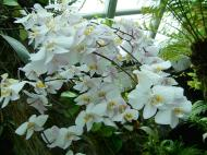 Asisbiz Singapore Orchids Botanical Garden 05