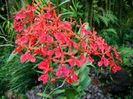 Asisbiz Singapore Orchids Botanical Garden 06
