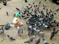 Asisbiz Feral Pigeon Myanmar Yangon 01