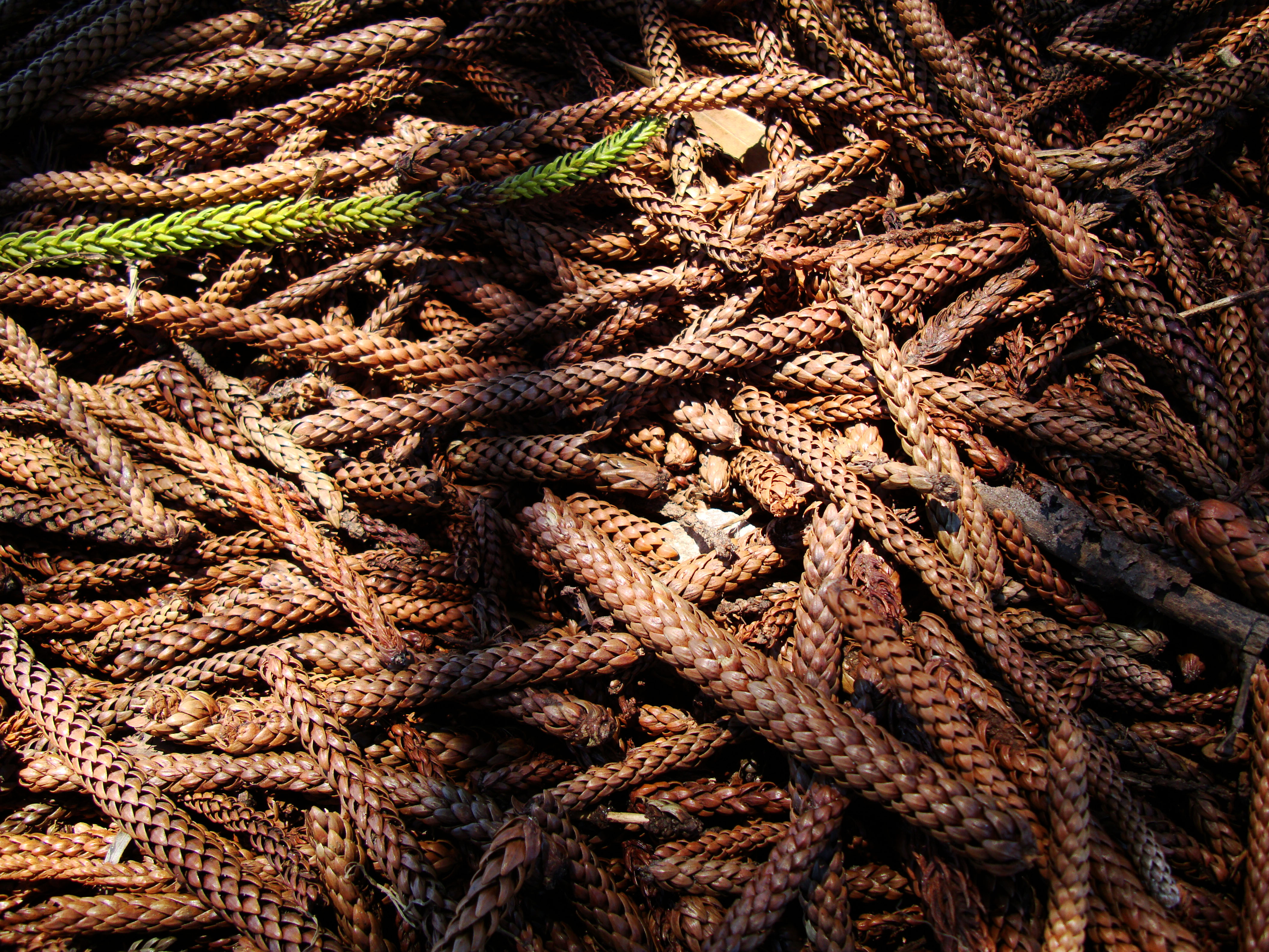 Textures Trees Timber Knotted Dried Wood 03