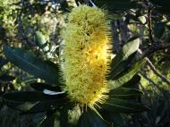 Asisbiz Flowers Banksia Noosa National Park 04