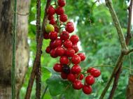 Asisbiz Philippines Fruits Berries Seeds 03