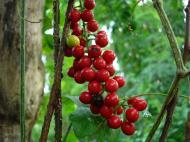 Asisbiz Philippines Fruits Berries Seeds 04