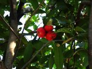 Asisbiz Philippines Fruits Berries Seeds 13