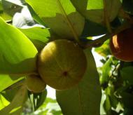 Asisbiz Philippines Fruits Berries Seeds 15