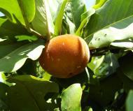 Asisbiz Philippines Fruits Berries Seeds 18