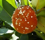 Asisbiz Philippines Fruits Berries Seeds 19