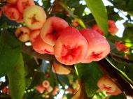 Asisbiz Philippines Fruits Berries Seeds 20