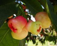Asisbiz Philippines Fruits Berries Seeds 23