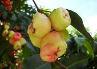 Asisbiz Philippines Fruits Berries Seeds 24