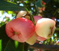 Asisbiz Philippines Fruits Berries Seeds 31