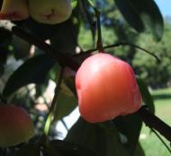 Asisbiz Philippines Fruits Berries Seeds 32