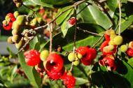 Asisbiz Philippines Fruits Berries Seeds 34