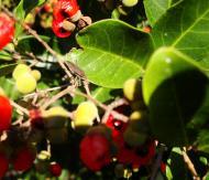 Asisbiz Philippines Fruits Berries Seeds 35