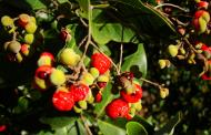 Asisbiz Philippines Fruits Berries Seeds 36