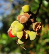 Asisbiz Philippines Fruits Berries Seeds 37