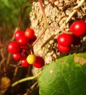 Asisbiz Philippines Fruits Berries Seeds 38