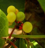 Asisbiz Philippines Fruits Berries Seeds 40