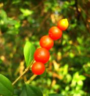 Asisbiz Philippines Fruits Berries Seeds 41