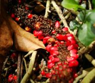 Asisbiz Philippines Fruits Berries Seeds 42