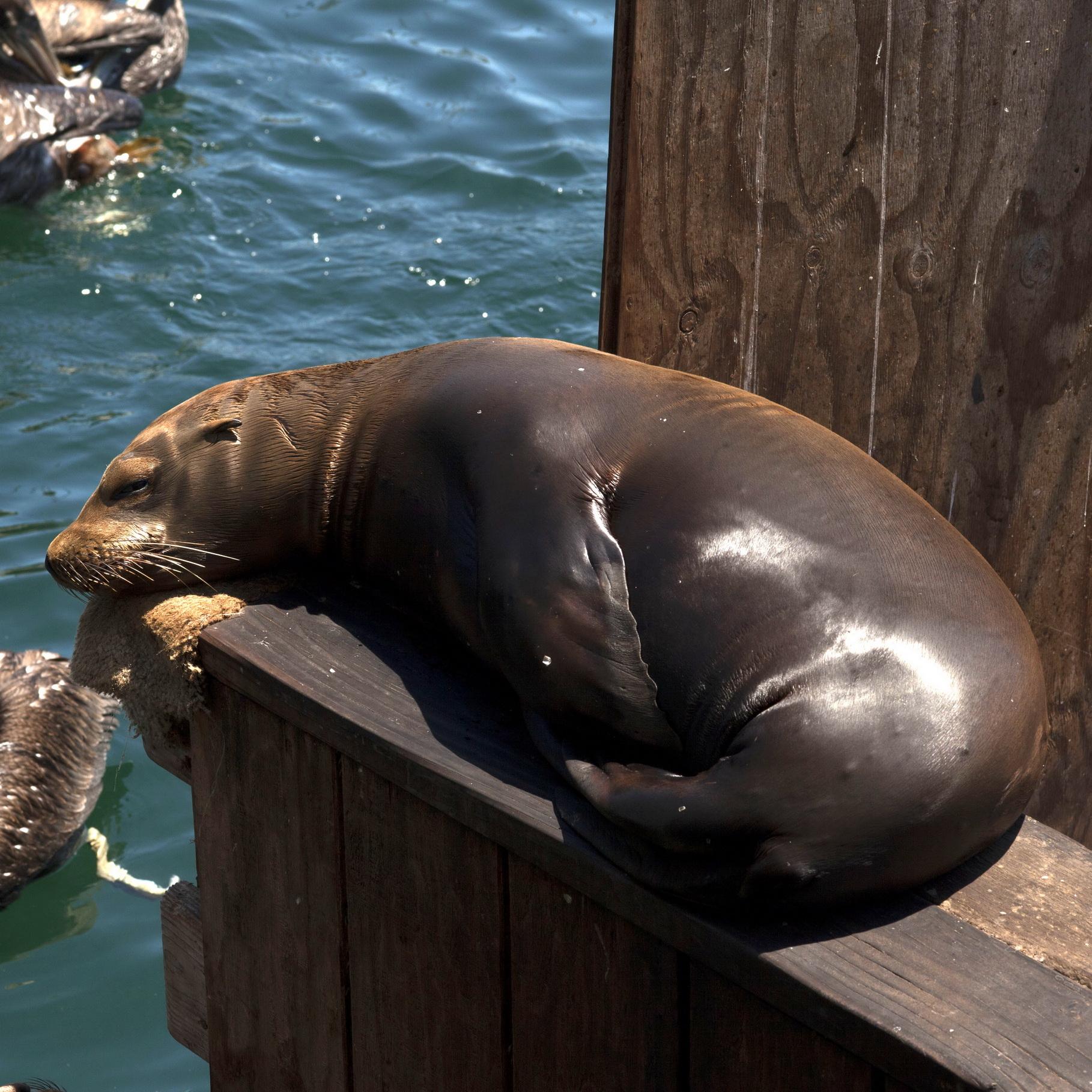 California Sea Lion Zalophus californianus Old Fishermans Grotto Wharf Monterey 02