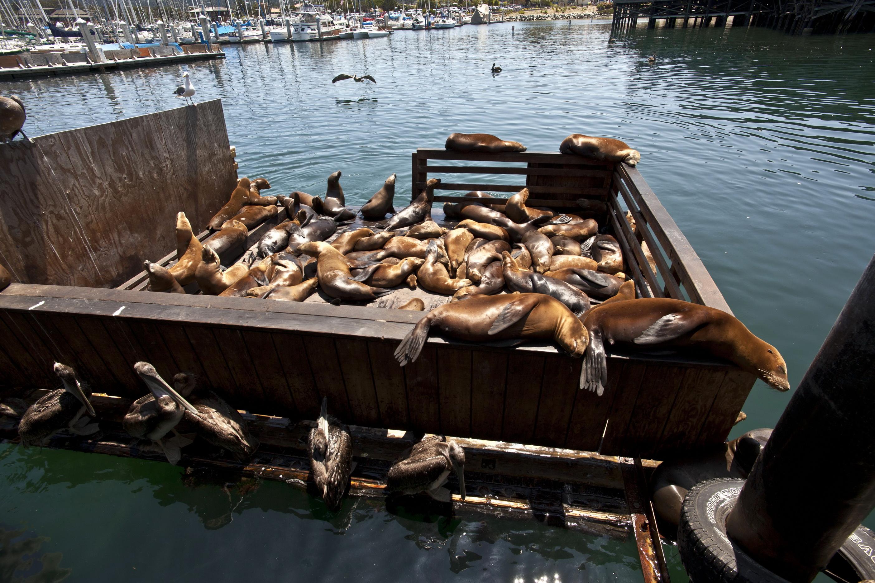 California Sea Lion Zalophus californianus Old Fishermans Grotto Wharf Monterey 27