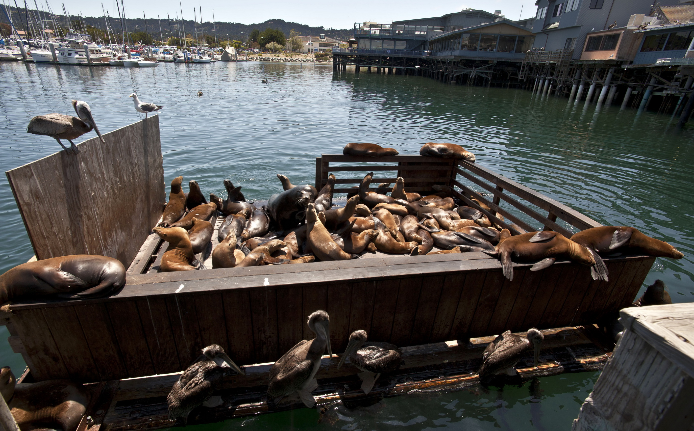 California Sea Lion Zalophus californianus Old Fishermans Grotto Wharf Monterey 40