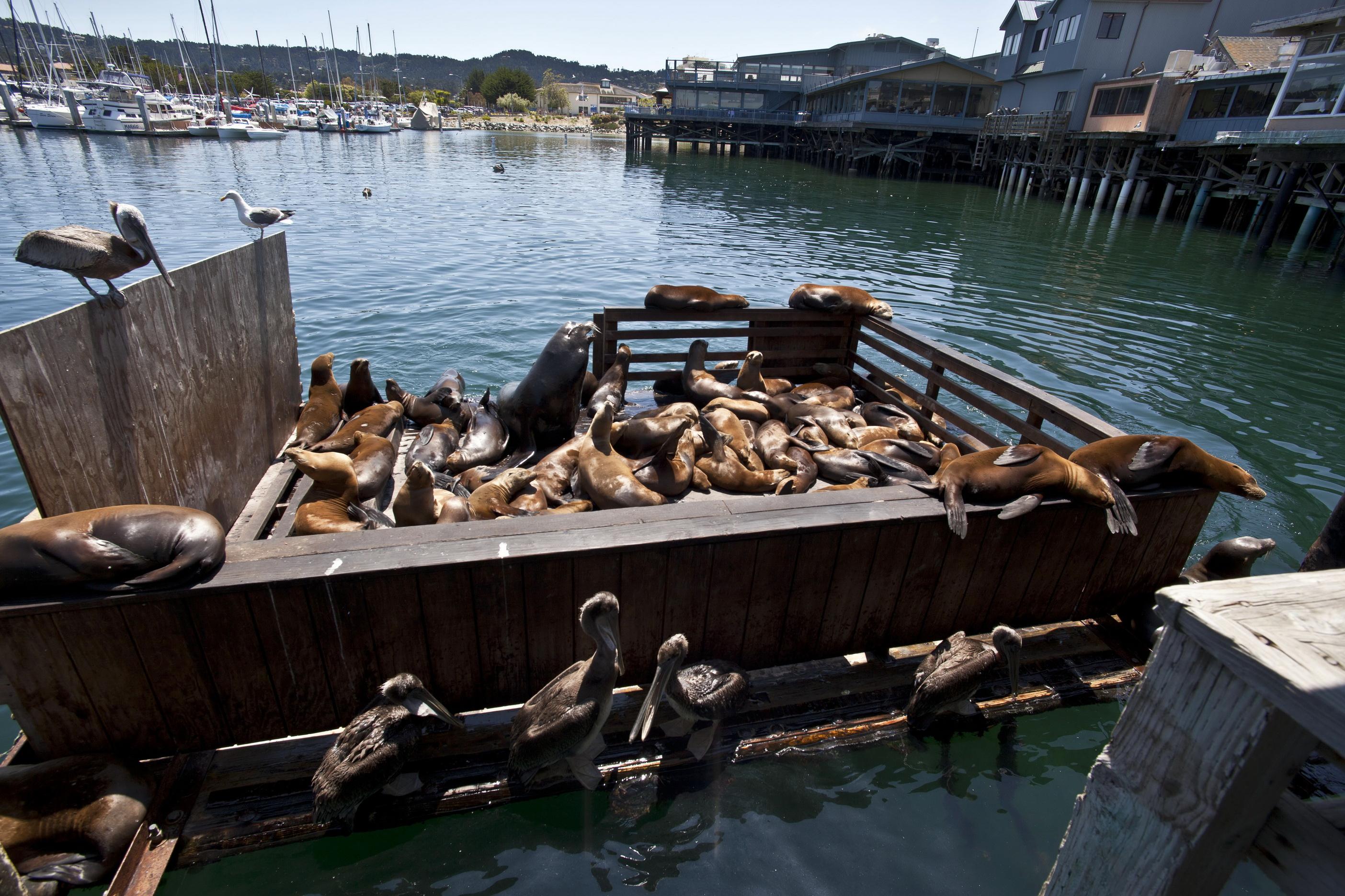 California Sea Lion Zalophus californianus Old Fishermans Grotto Wharf Monterey 41